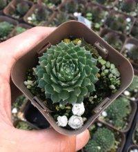 多肉植物 センペルビウム シルバーカーノル 2.5寸苗