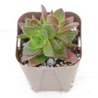 多肉植物 クラッスラ カクレイ(赫麗) 2.5寸苗